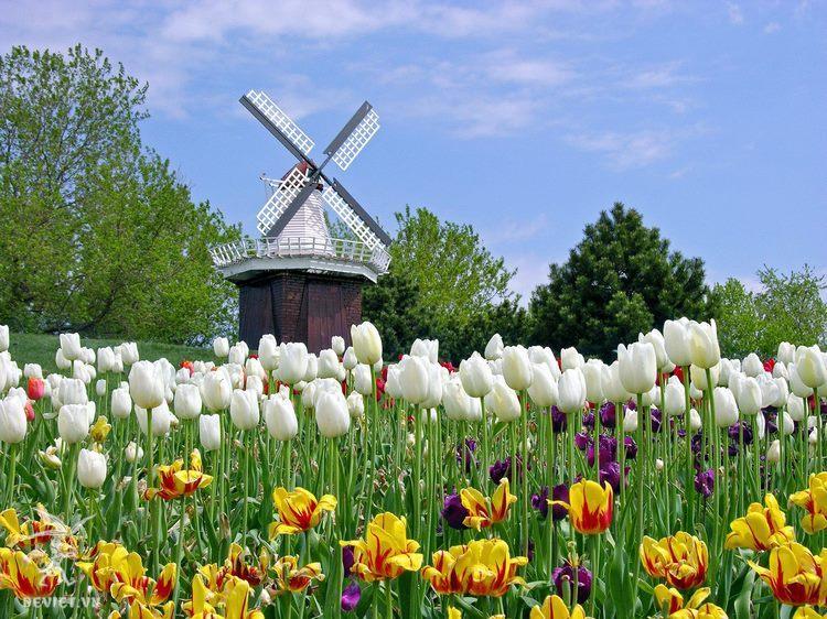 Hình ảnh cối xay gió, biểu tượng của Hà Lan thấp thoáng trong vườn hoa Keukenhof