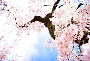 Tour Nhật 2018 : Ngắm hoa anh đào vùng KANSAI