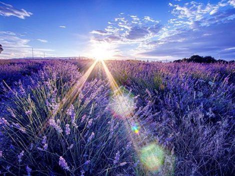 Đắm chìm trong thiên đường hoa oải hương xứ Provence