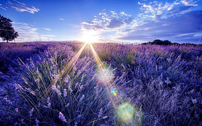 Cánh đồng hoa oải hương đẹp mê mải ở Province