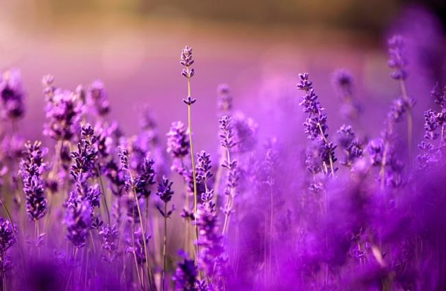 Những bông hoa oải hương tại Provence tỏa hương thơm dịu dàng