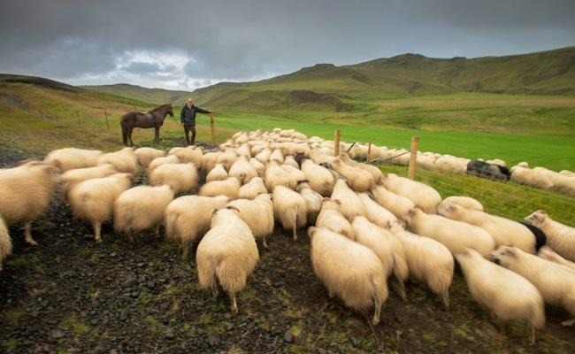 du lịch Iceland - thịt cừu