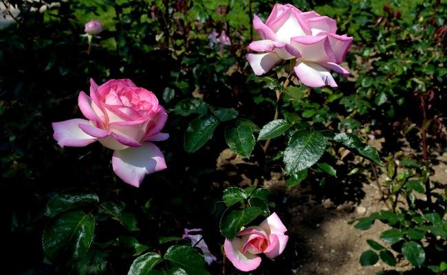 du lịch monaco tự túc - vườn hoa