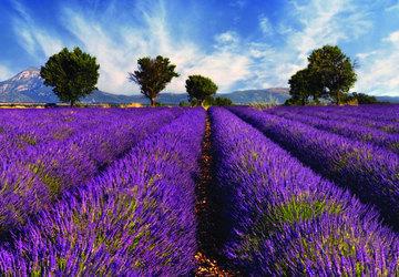 cánh đồng lavender pháp - ảnh đại diện