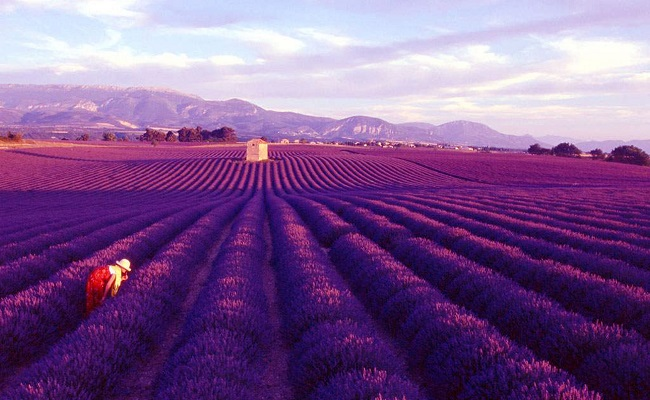 cánh đồng lavender pháp - thời điểm ngắm hoa