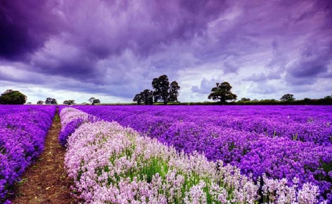 cánh đồng lavender pháp