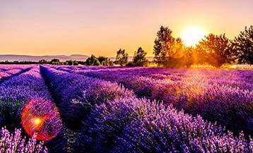 Cánh đồng Lavender