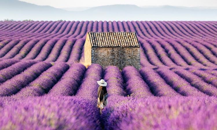 provence lavender_1
