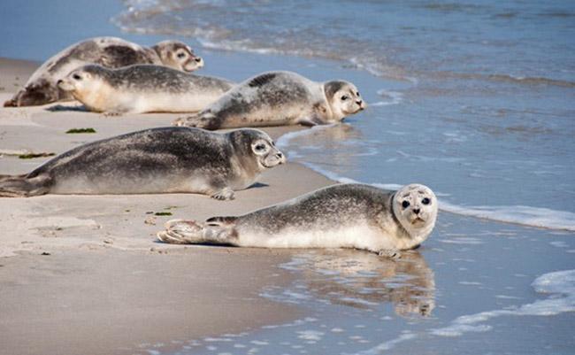 Bờ biển Wadden là nhà của những chú hải cẩu xám.