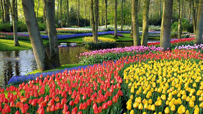Tour du lịch Hà Lan giá rẻ khám phá xứ sở hoa tulip và cối xay gió